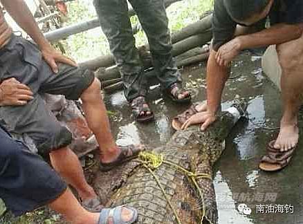 农林渔业局,南海区,顺德 [图] 老人河边捕获鳄鱼 将其电死以2千元卖掉
