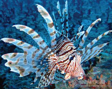 Lionfish-01.png