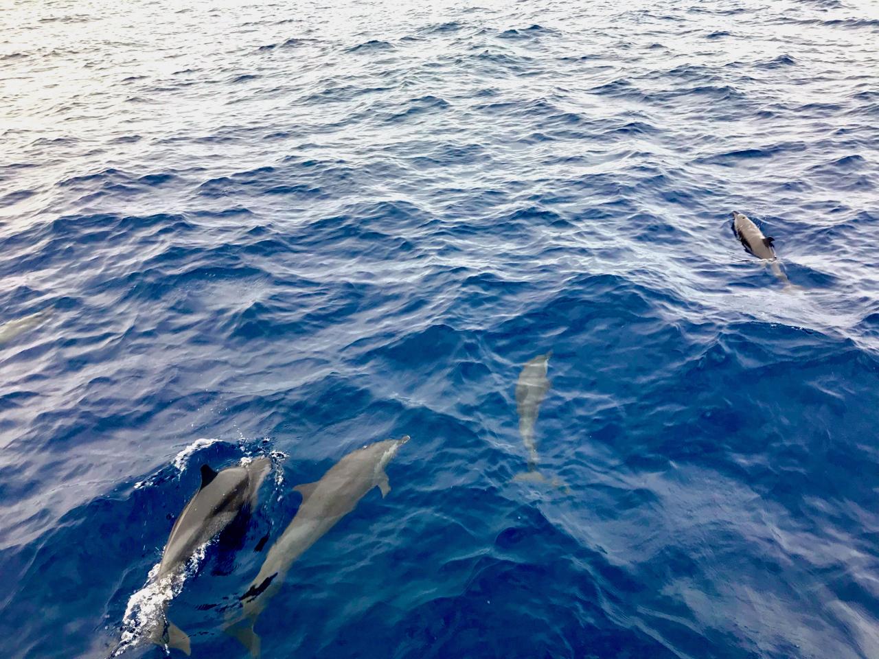 20180110加勒比海早锻炼的海豚们.jpg