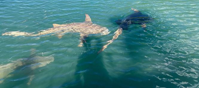 20180504Moorea岛岸边的鲨鱼群.jpg