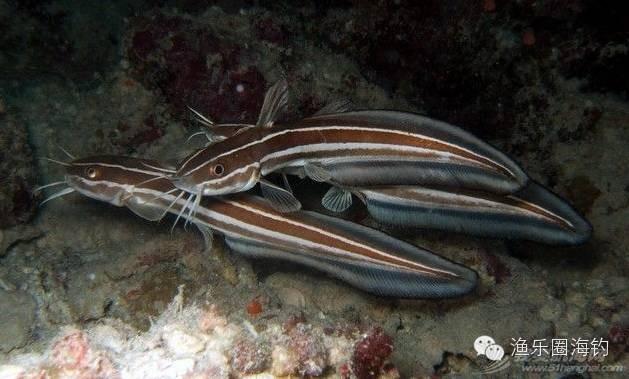 海钓中常见的毒鱼w2.jpg