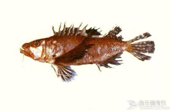海钓中常见的毒鱼w5.jpg