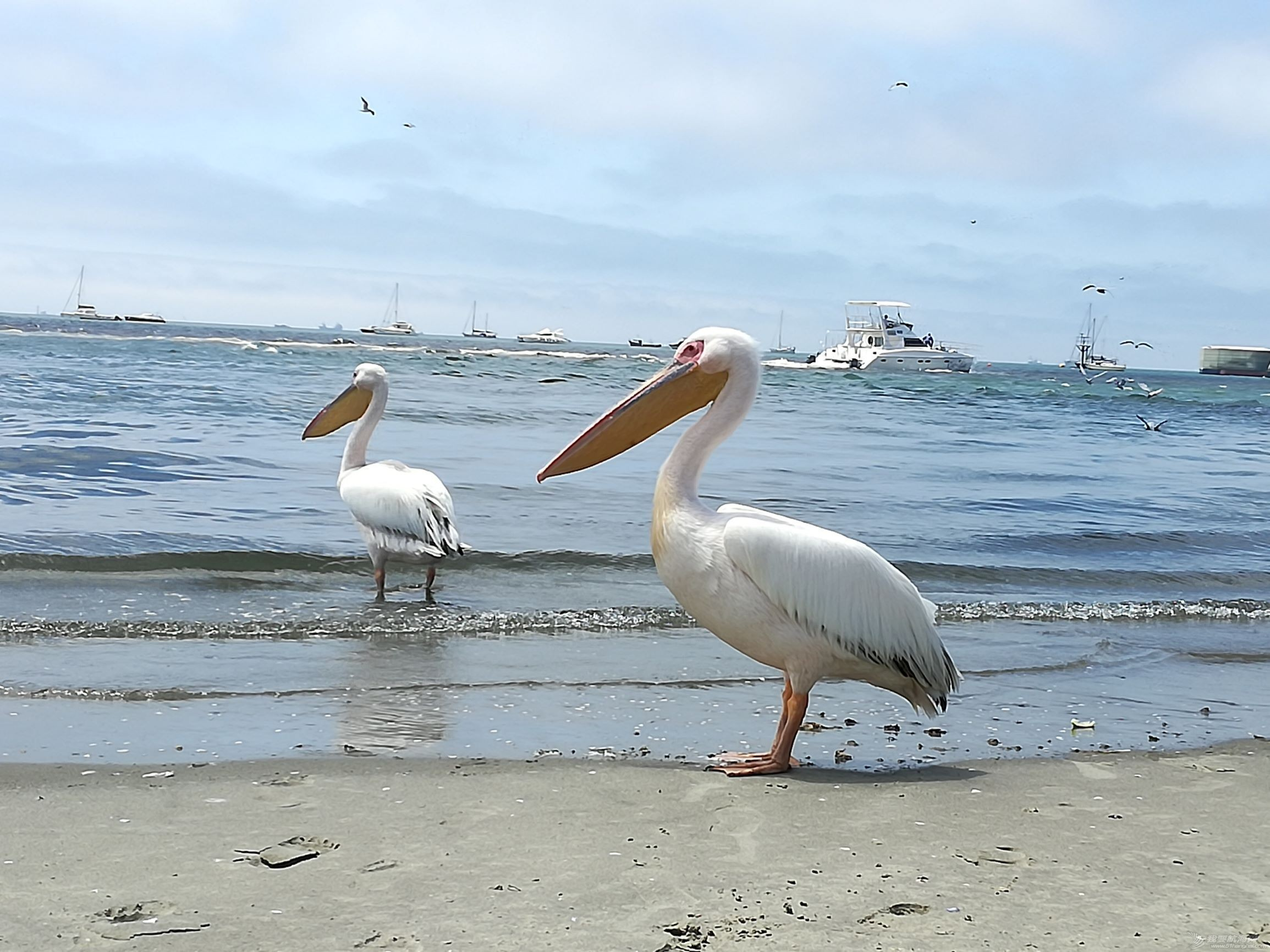 16 elegent white pelicans.jpg