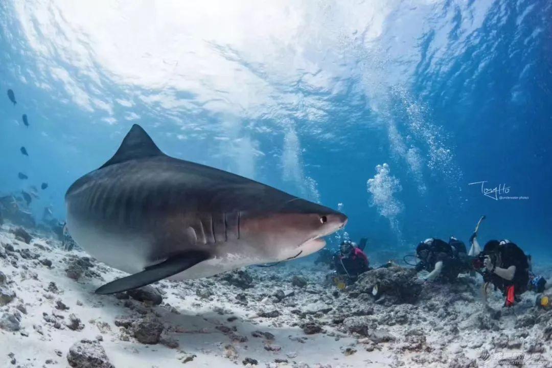 舍利塔下的虎鲨吃人吗?w47.jpg
