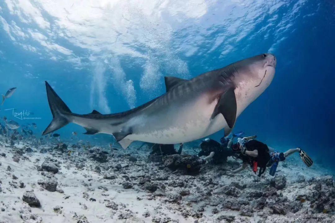 舍利塔下的虎鲨吃人吗?w50.jpg