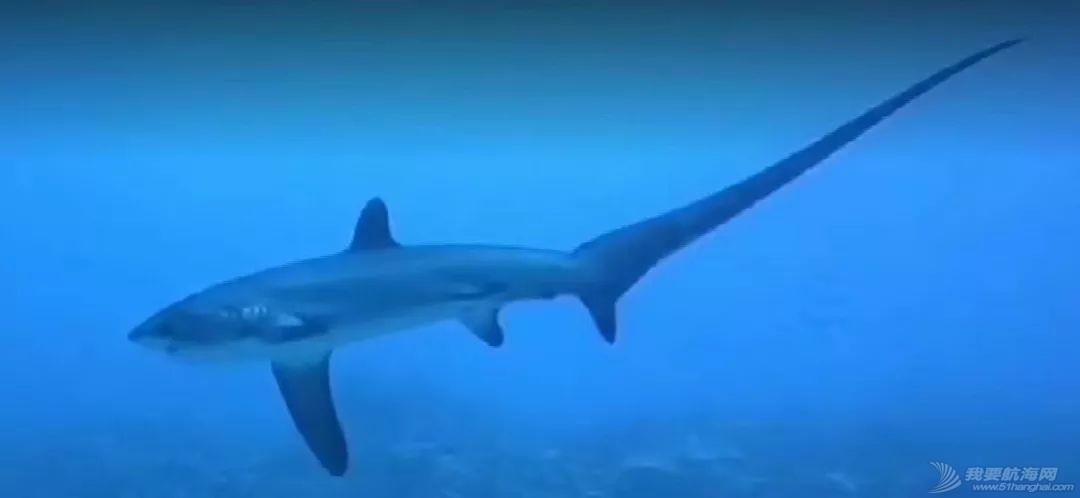舍利塔下的虎鲨吃人吗?w51.jpg