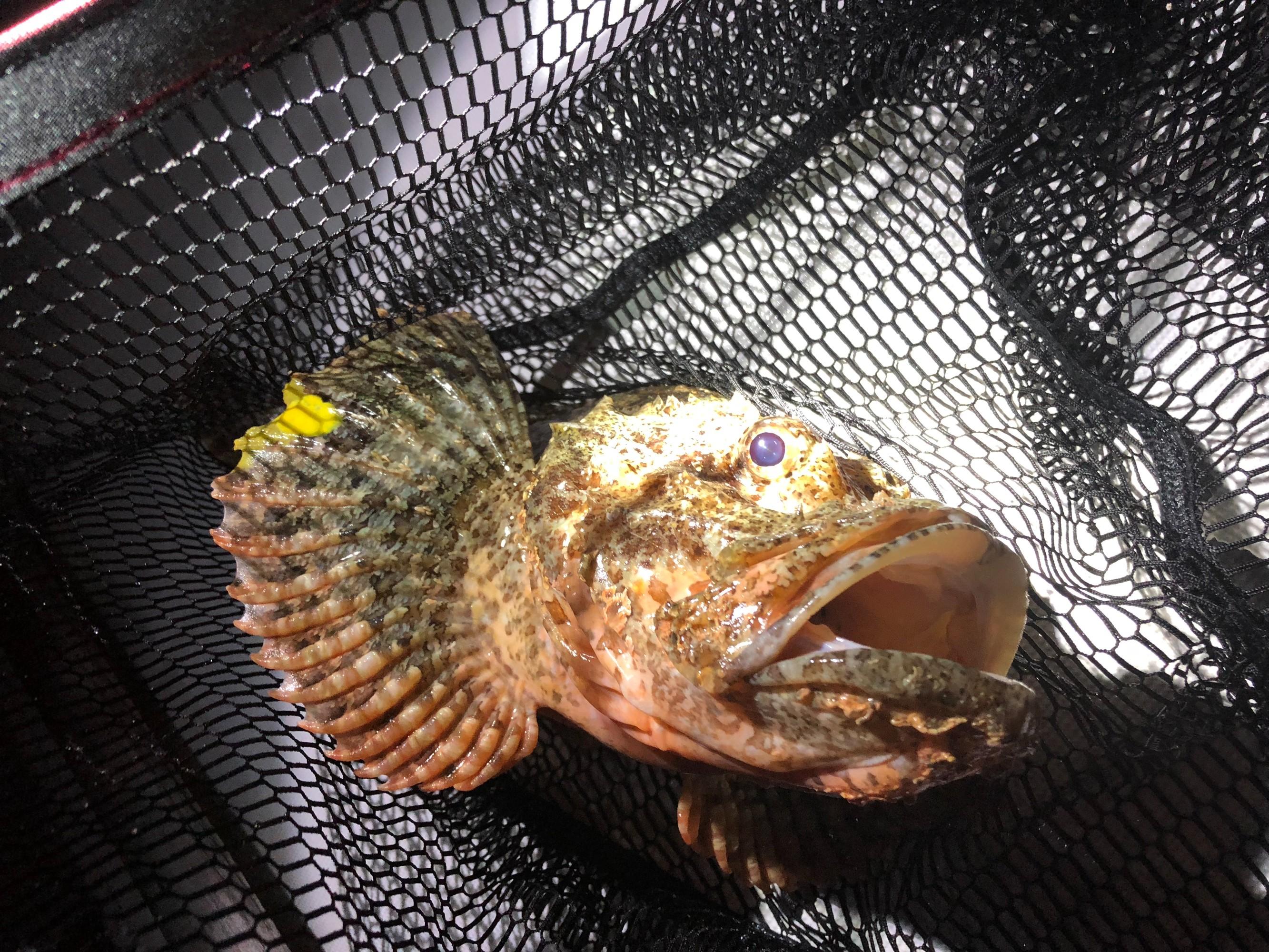 石头鱼被不识货的我们放了